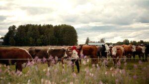 Kvinna klappar kor i hage, rallarrosor i förgrunden