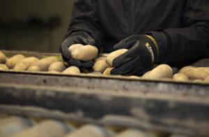 händer som plockar med potatis