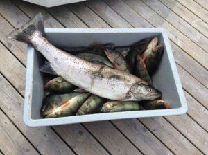 Nyfångade fiskar i en balja