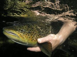 En människas hand håller i en öring under vattnet