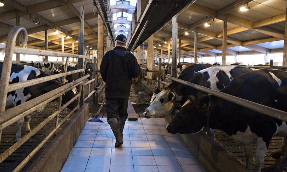 En bonde går genom ladugård med kor