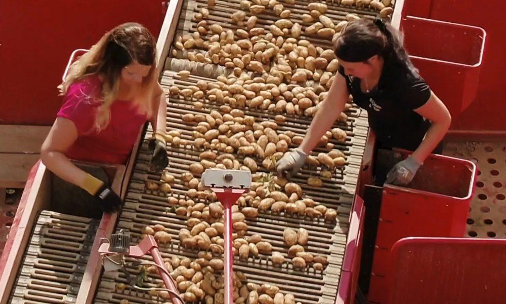 Potatisproduktion