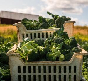 En stor korg med nyskördad broccoli