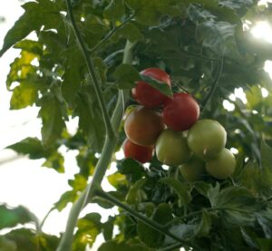 Tomater som växer på en tomatplanta