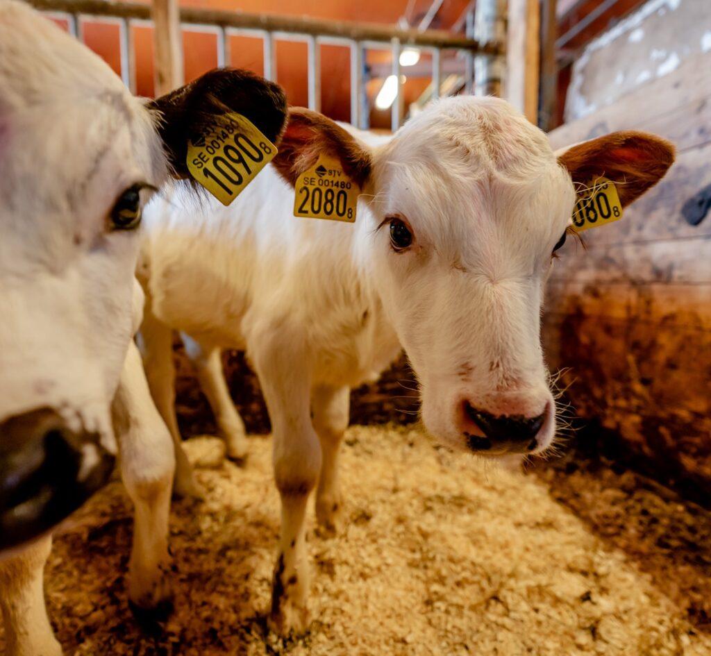 Kor i en ladugård