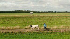 En ko och två människor rör sig över ett jordbrukslandskap