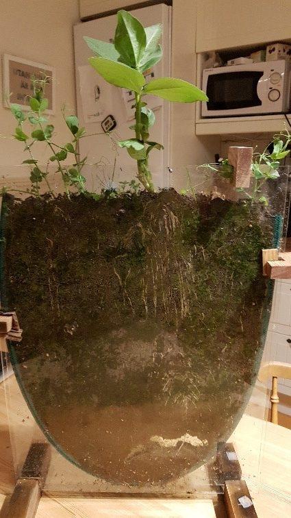 Elevernas jordakvarium där man kan se jorden med dess rötter i genomskärning.