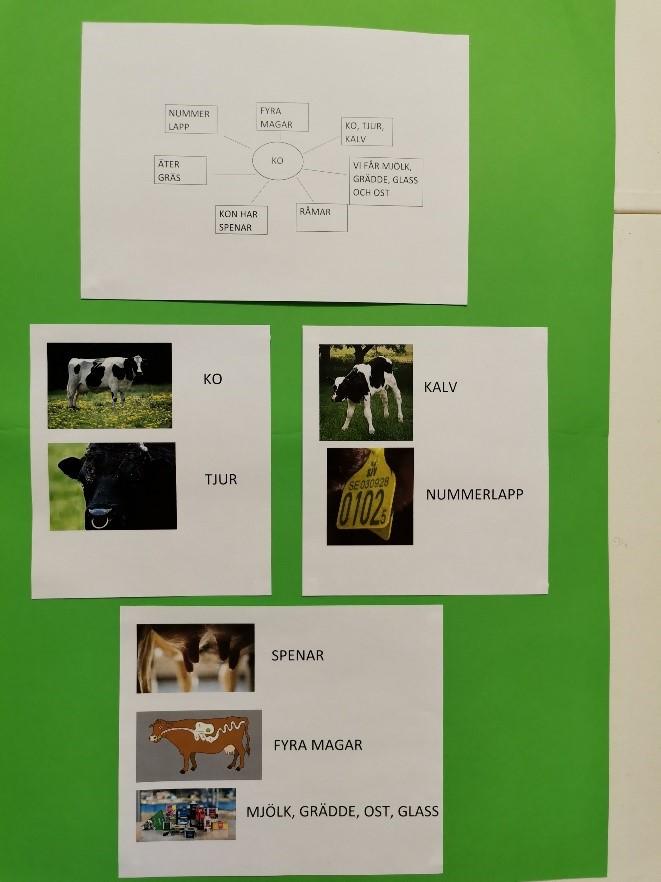 Ett foto av ett grönt papper med vita papper klistrade ovanpå. Där visas en mindmap med fakta om kor samt bilder på en ko, tjur, kalv, kons fyra magar etc.