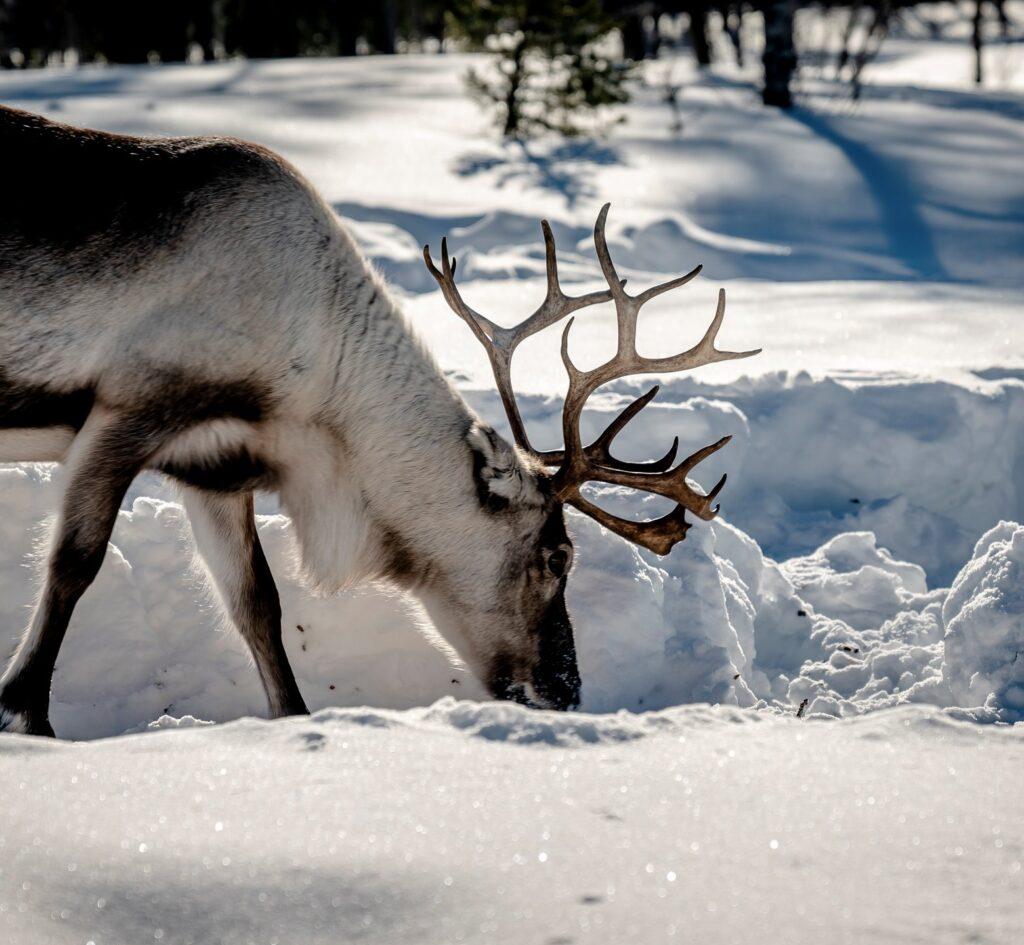 En ren i snö